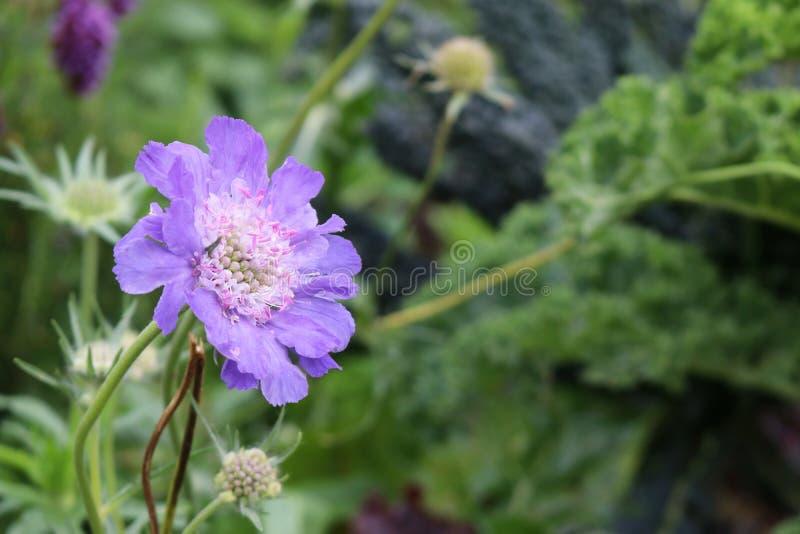 Fiore porpora blu di scabiosa di Scabia fotografia stock