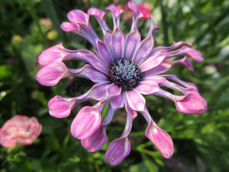 Fiore porpora con i petali a forma di dispari immagine stock libera da diritti