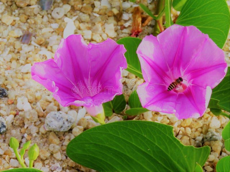 Fiore porpora con l'ape fotografia stock