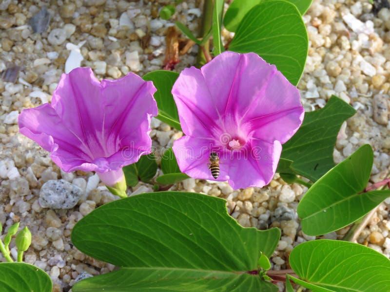 Fiore porpora con l'ape fotografia stock libera da diritti