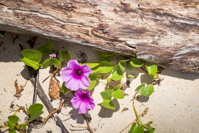 Fiore porpora del convolvolo dell'ipomoea su una spiaggia tropicale sabbiosa vicino al vecchio ceppo dell'albero Struttura di vis fotografie stock