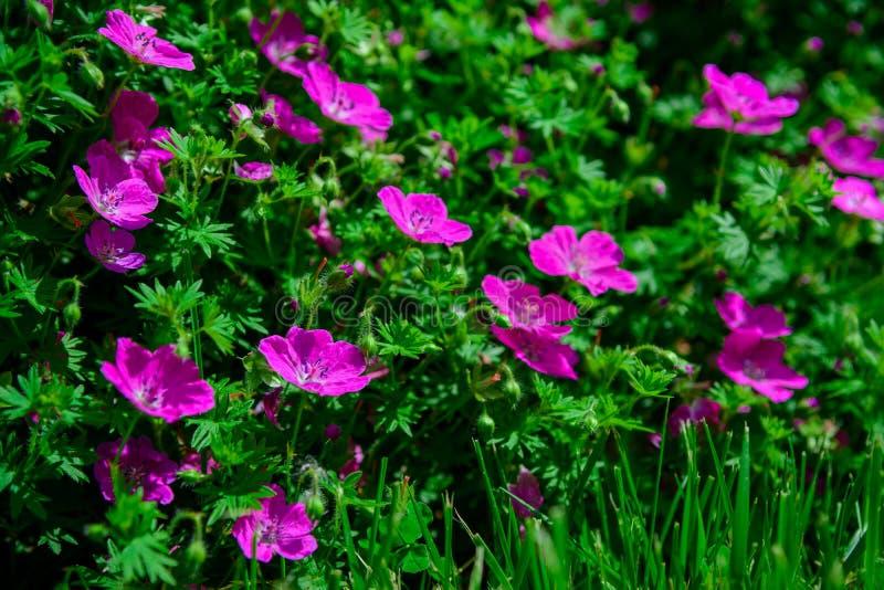 Fiore porpora del geranio in natura immagini stock libere da diritti