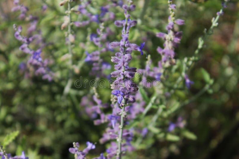 Fiore porpora del prato fotografia stock