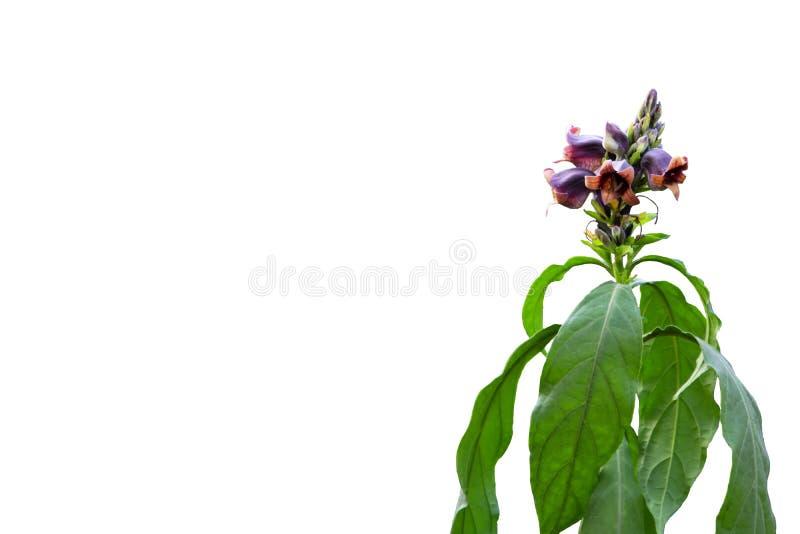 Fiore porpora del pulcherrimus T di Phlogacanthus Anderson è un mazzo dell'insieme dei fiori alla cima dei gambi e delle foglie v fotografia stock libera da diritti