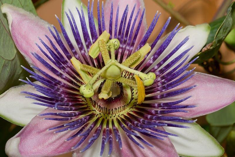 Fiore porpora di passione fotografia stock