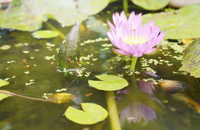 Fiore porpora e riflessione della ninfea del loto che fioriscono in acqua immagini stock