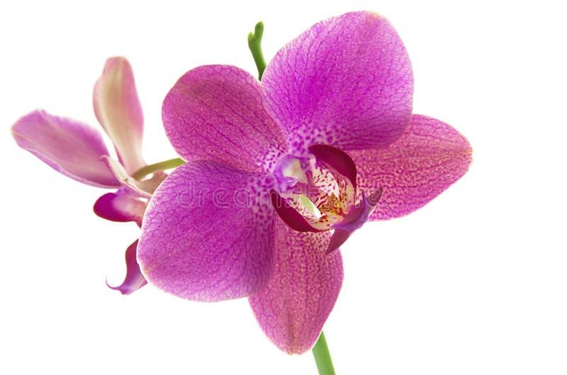 Fiore porpora tropicale dell'orchidea isolato su fondo bianco fotografia stock libera da diritti