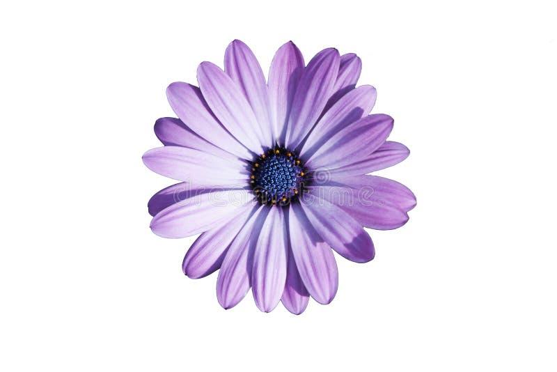 Fiore porpora un giorno soleggiato fotografia stock libera da diritti
