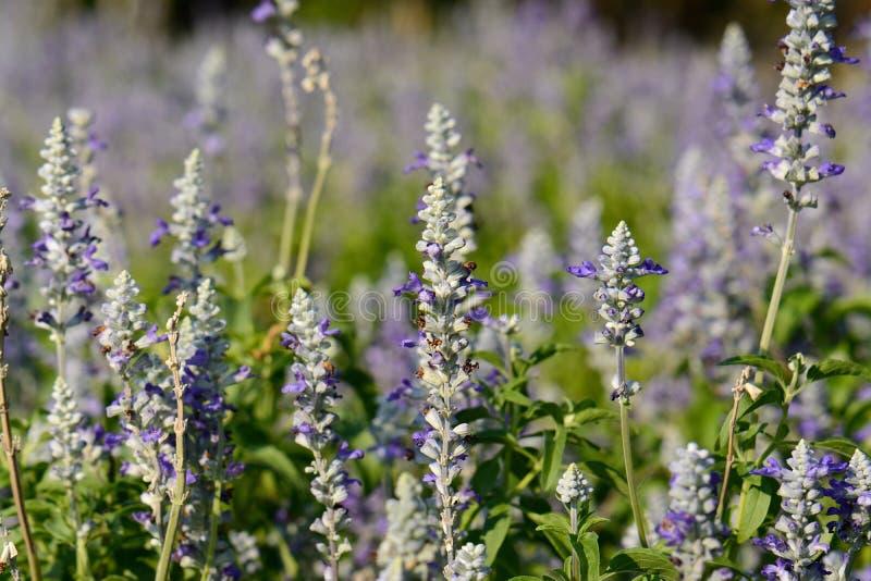 Fiore prudente del cappuccio farinoso (farinacea di Salvia) fotografie stock