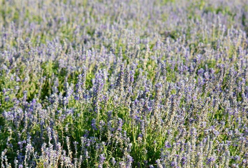 Fiore prudente del cappuccio farinoso (farinacea di Salvia) fotografia stock libera da diritti