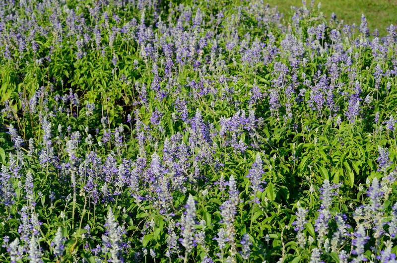 Fiore prudente del cappuccio farinoso (farinacea di Salvia) fotografia stock