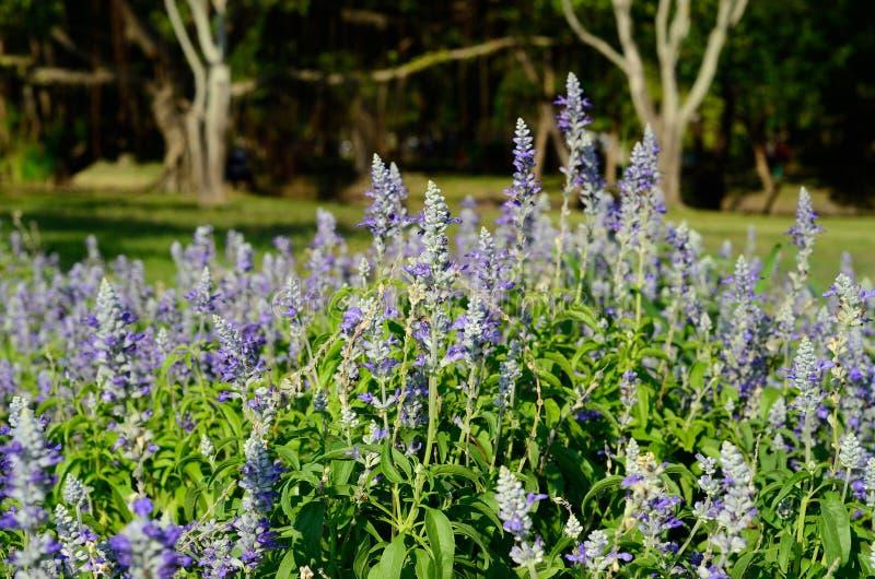 Fiore prudente del cappuccio farinoso (farinacea di Salvia) immagini stock libere da diritti
