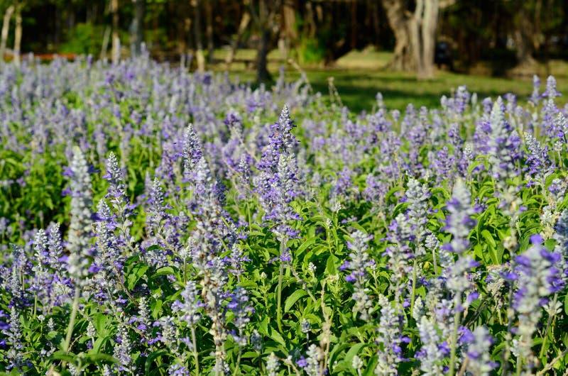 Fiore prudente del cappuccio farinoso (farinacea di Salvia) immagine stock