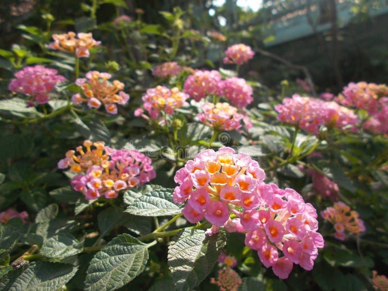 Fiore prudente rosa di lantana camara immagini stock libere da diritti