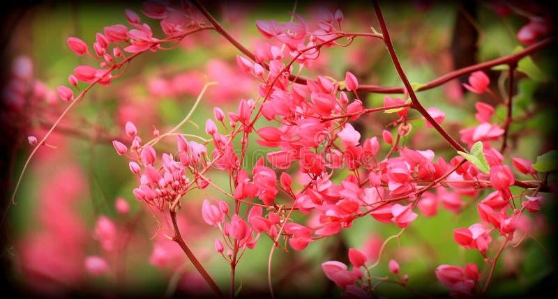 Fiore Pwgchmpo fotografia stock libera da diritti