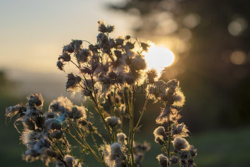 Fiore retroilluminato del cardo selvatico in autunno fotografie stock
