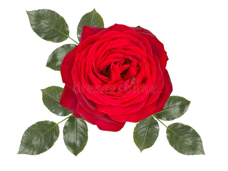 Fiore romantico della rosa rossa, isolato su fondo bianco fotografie stock