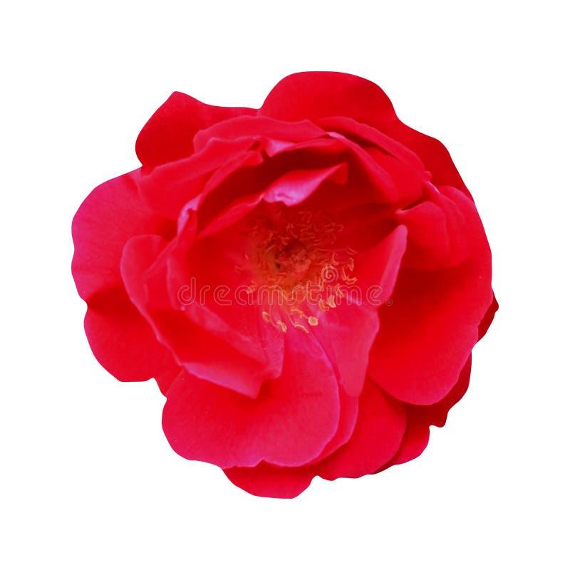 Fiore romantico della rosa rossa, isolato su fondo bianco immagine stock libera da diritti