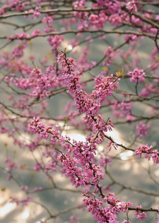 Fiore rosa adorabile di un ciliegio, Hangzhou, Cina immagini stock