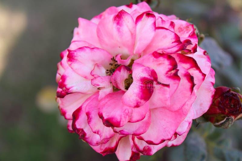 Fiore rosa asiatico fotografia stock libera da diritti