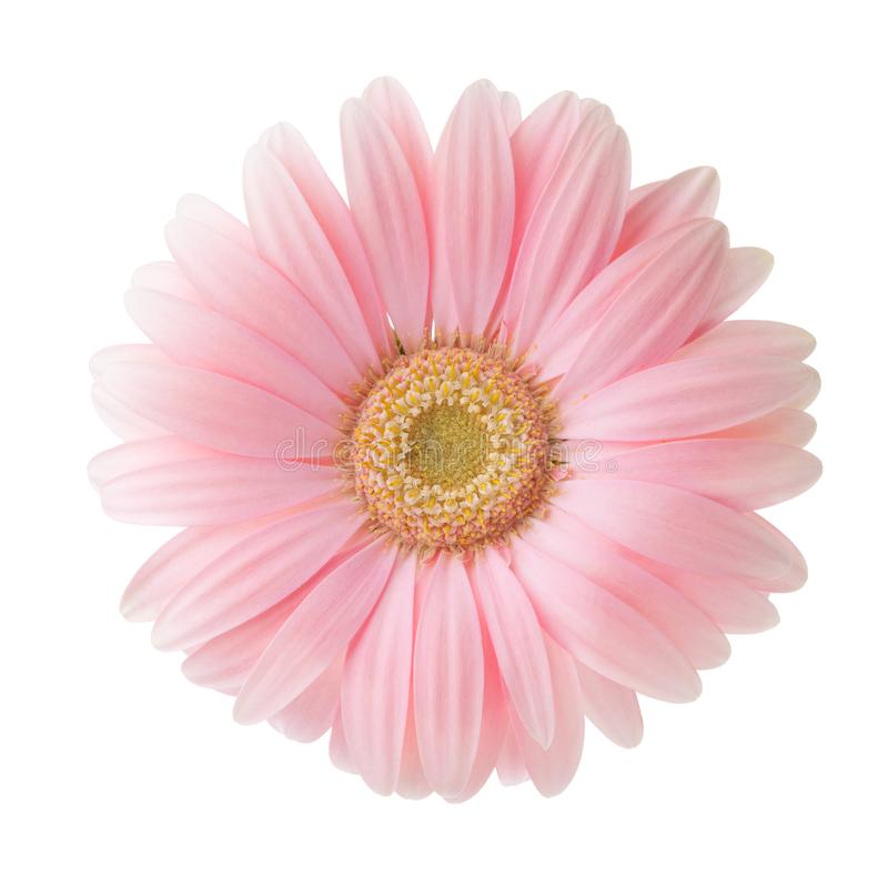 Fiore rosa-chiaro della gerbera isolato su fondo bianco immagini stock libere da diritti
