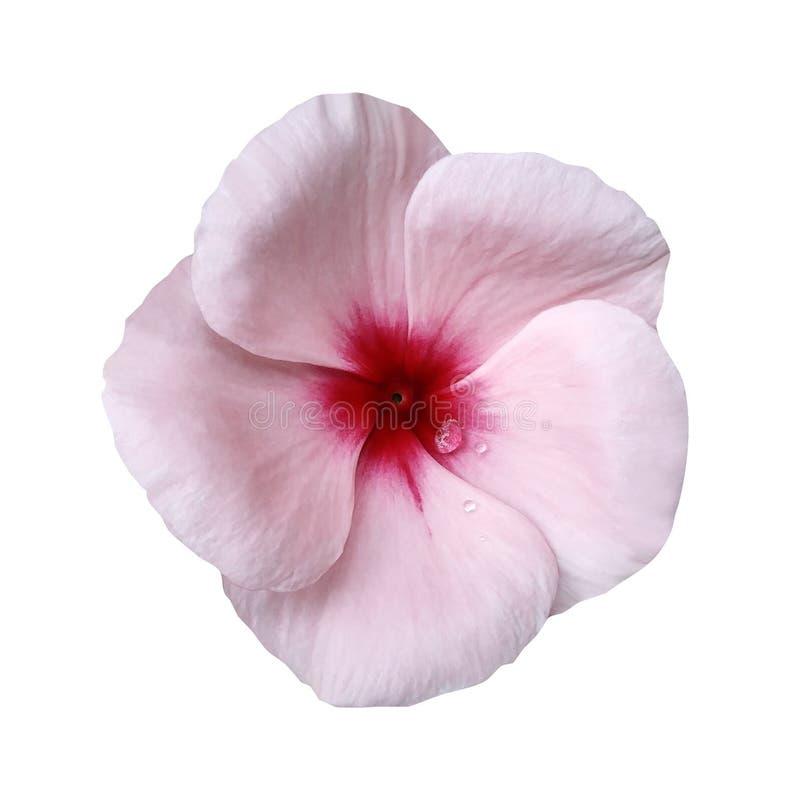 Fiore rosa-chiaro su fondo bianco isolato con il percorso di ritaglio closeup Belle viole bianco-rosa del fiore per progettazione immagini stock