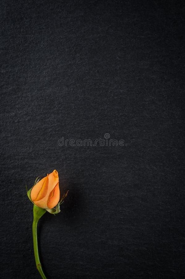 Fiore rosa cinese nano con i petali arancio, primo piano su fondo di pietra scuro fotografie stock