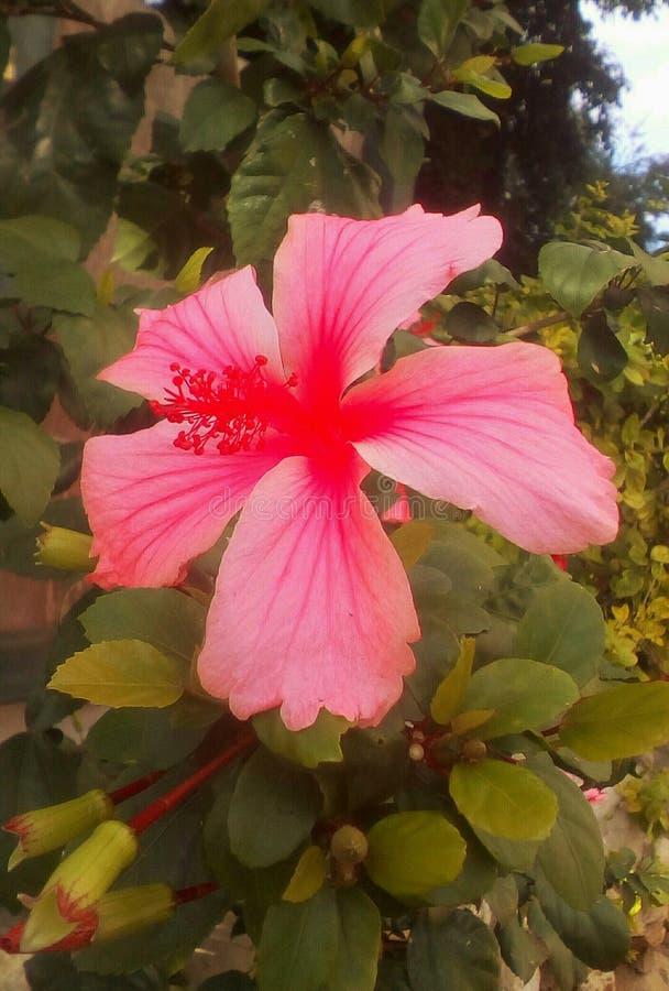 Fiore rosa con cinque petali fotografie stock