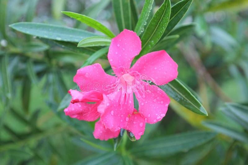 Fiore rosa con le gocce di pioggia immagine stock