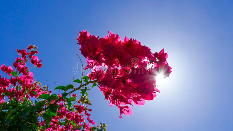 Fiore rosa con sole che attraversa immagine stock
