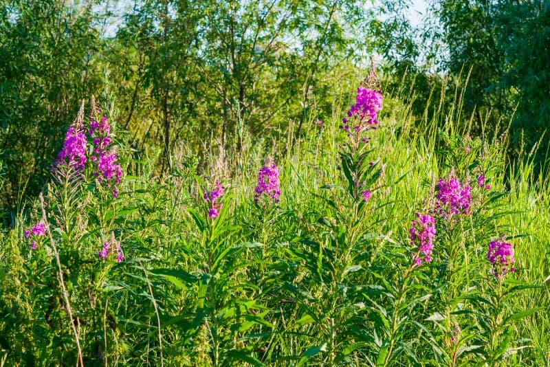Fiore rosa Cypress pianta-stretto-Leaved medicinale selvaggio, lats del Ivan-tè Epilobio fotografia stock libera da diritti