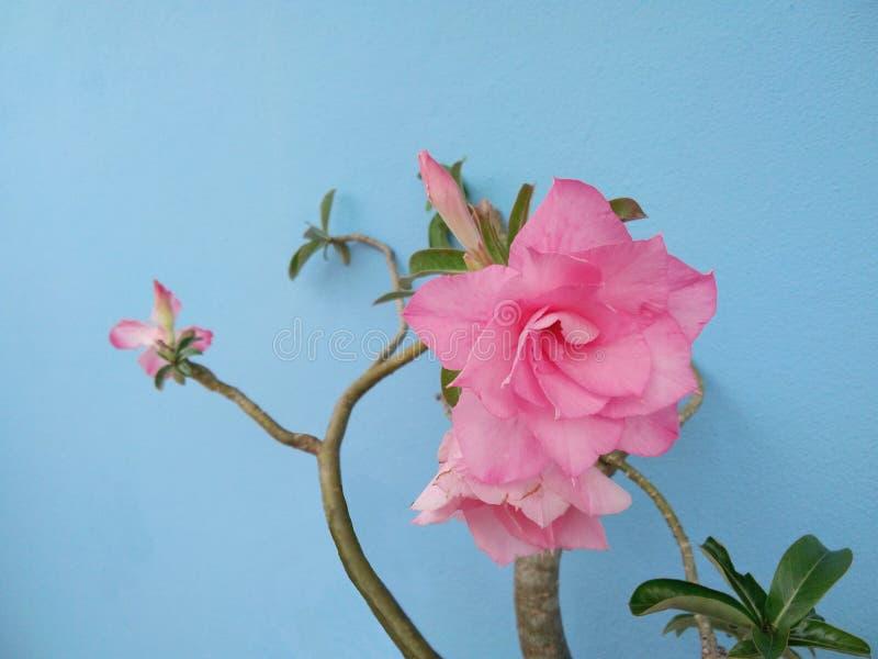 Fiore rosa del Adenium, rosa del deserto, azalea falsa, Pinkbignonia, giglio di impala fotografia stock