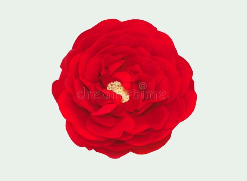Fiore rosa del corallo Dettagliato ritocchi Bello fiore vista superiore, fotografia stock