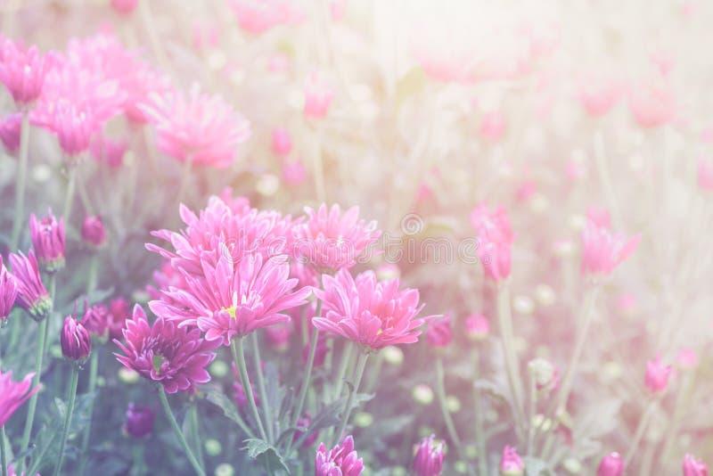 Fiore rosa del crisantemo in giardino sul tono d'annata fotografia stock