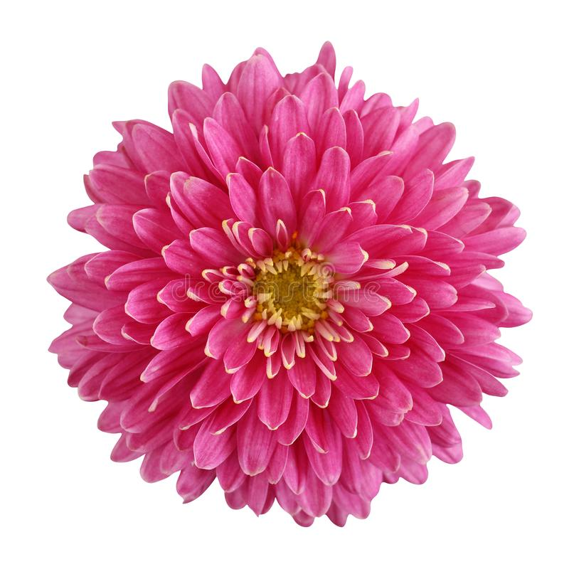 Fiore rosa del crisantemo isolato su fondo bianco fotografia stock