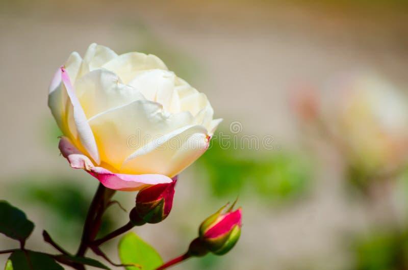 Fiore rosa del fiore della bella crema bianca rosa in una stagione primaverile ad un giardino botanico fotografia stock libera da diritti