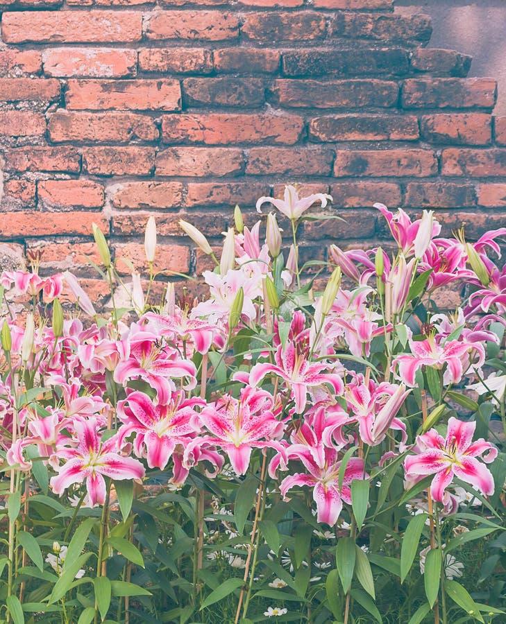 Fiore rosa del giglio con vecchio stile dell'annata del muro di mattoni fotografia stock libera da diritti