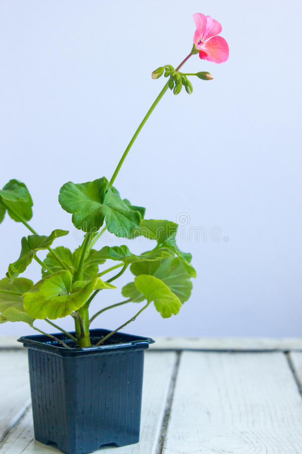 Fiore rosa del pelargonium, geranio, storksbills, pianta domestica in vaso nero fotografia stock libera da diritti