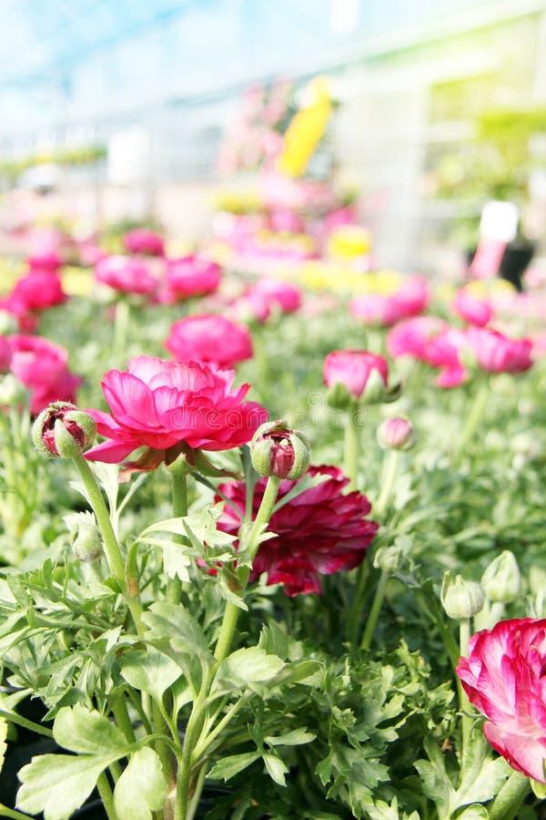 Fiore rosa del ranuncolo del ranunculus nel giardino, circondato dal YE fotografia stock libera da diritti