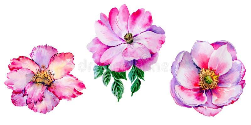 Fiore rosa del tè del Wildflower in uno stile dell'acquerello isolato royalty illustrazione gratis