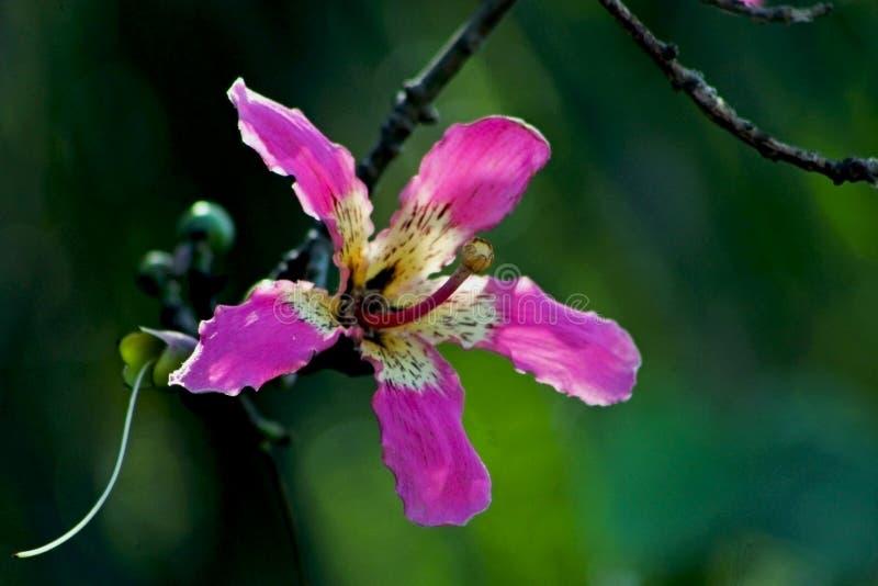 Fiore rosa dell'albero di seta del filo di seta, speciosa della ceiba fotografia stock