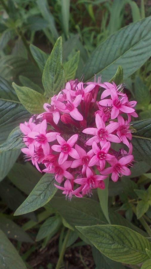 Fiore rosa dell'arbusto immagine stock libera da diritti