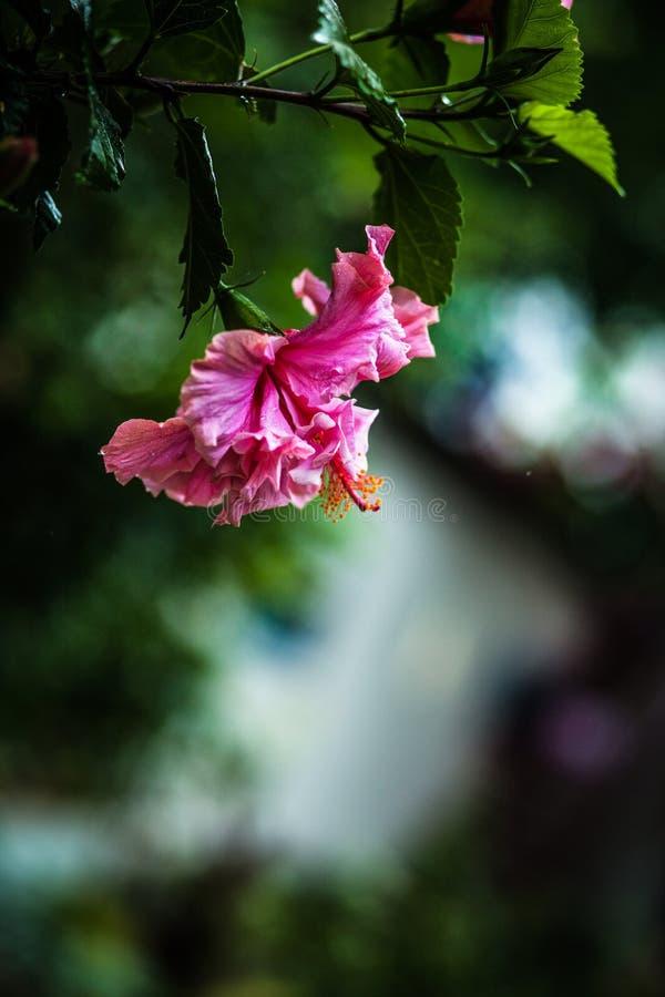 Fiore rosa dell'ibisco rosa di cinese fotografia stock libera da diritti