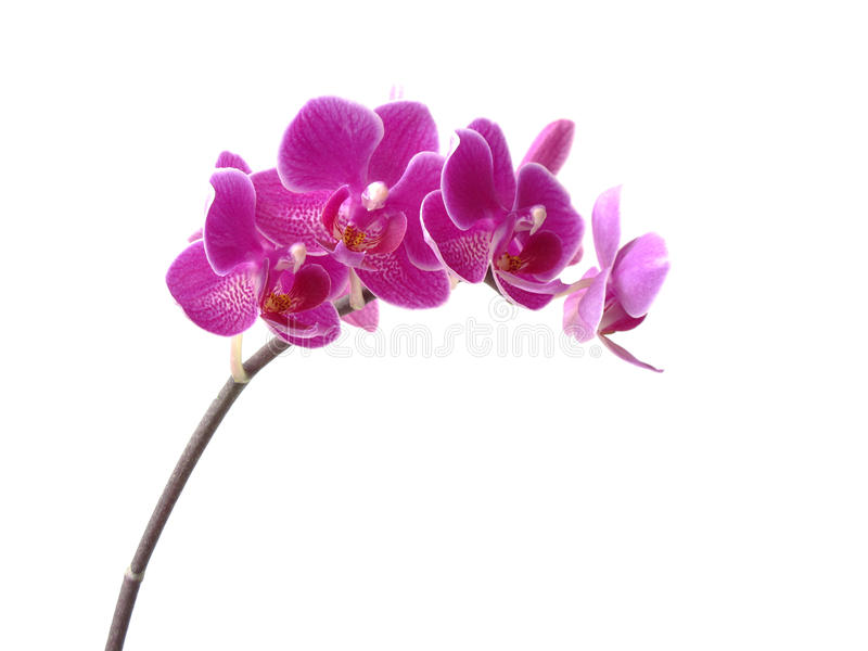 Fiore rosa dell'orchidea immagine stock