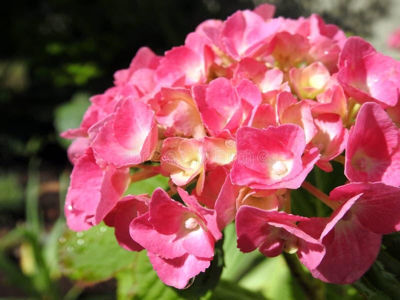 Fiore rosa dell'ortensia nel giardino di estate, Lituania fotografia stock libera da diritti