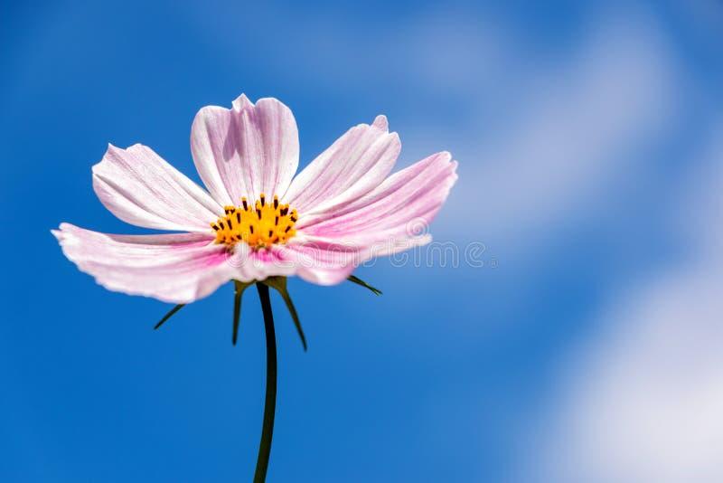 Fiore rosa dell'universo in cielo blu immagine stock