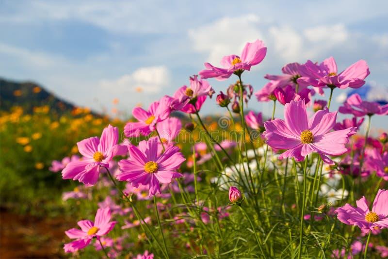 Download Fiore Rosa Dell'universo In Giardino Fotografia Stock - Immagine di celebrazione, campagna: 56886202
