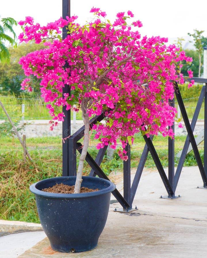 Download Fiore Rosa Della Buganvillea In Vaso Fotografia Stock   Immagine  Di Magenta, Filiale: