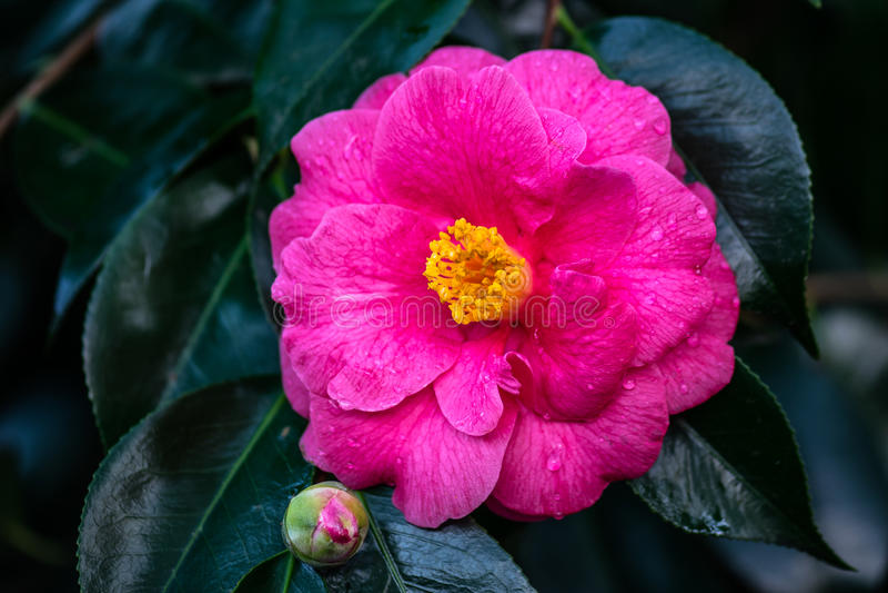 Fiore rosa della camelia fotografia stock libera da diritti