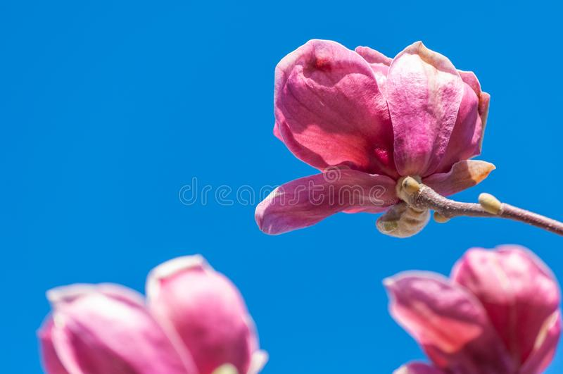 Fiore rosa della magnolia su cielo blu fotografie stock
